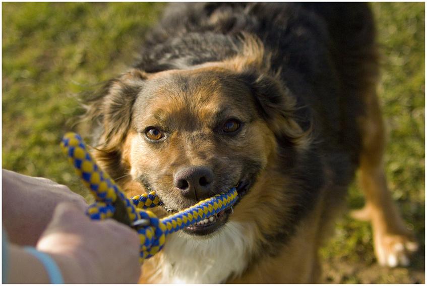 Giocare al tira e molla col cane la via del cane for Regalo a chi se lo viene a prendere